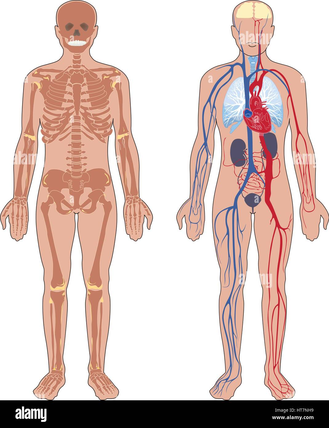 Human anatomy. Set of vector illustration isolated on white background. Human body structure: skeleton and circulatory - Stock Image
