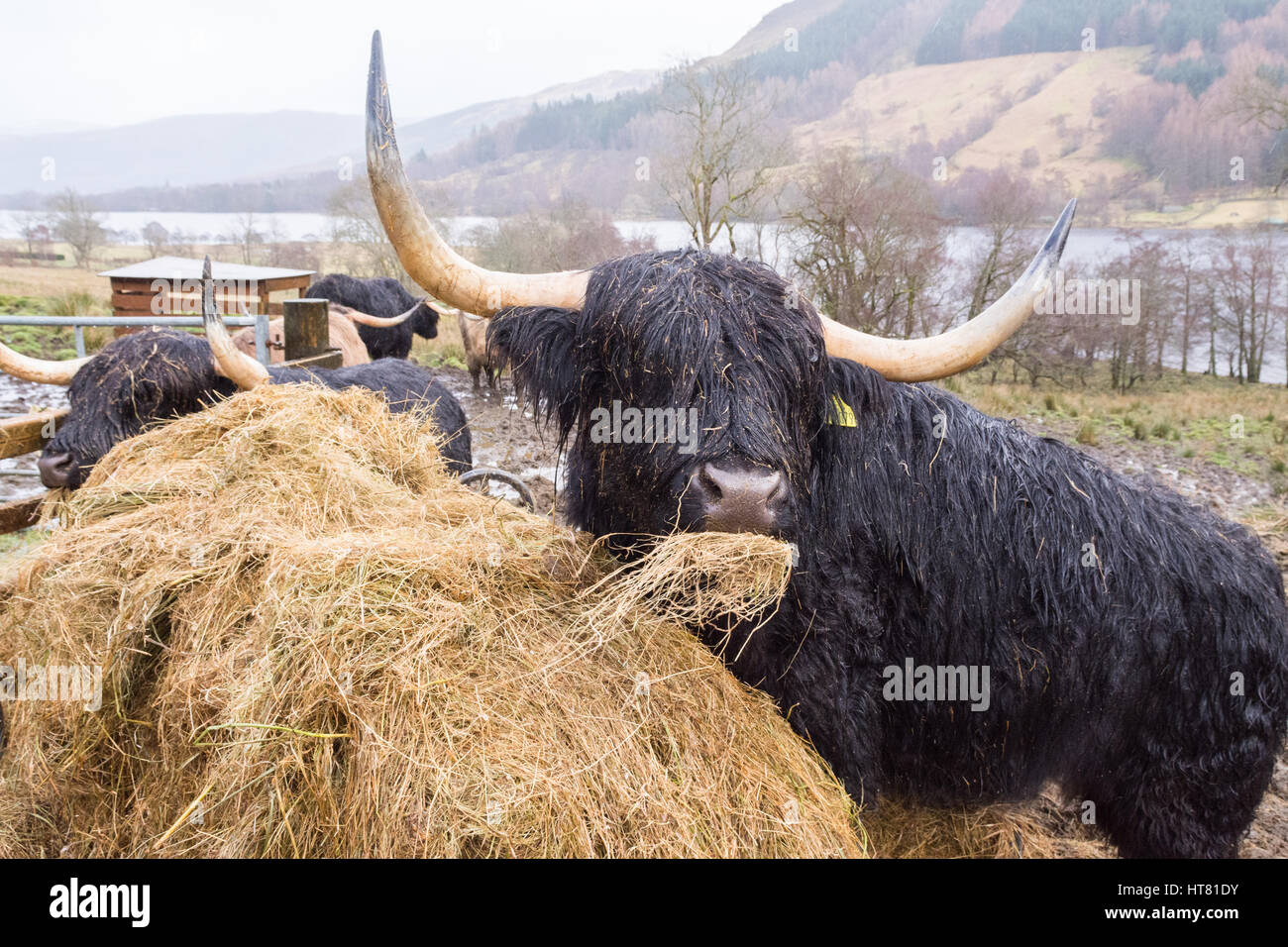 Balquhidder, Lochearnhead, Perthshire, Scotland, UK. 8th March, 2017. UK weather - soggy highland cattle covered - Stock Image
