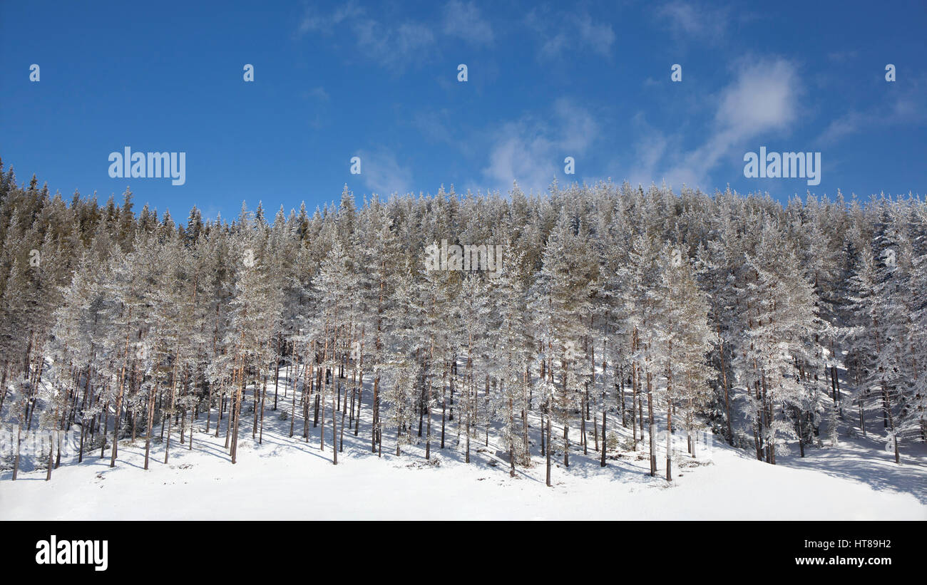 Winter landscape with snowy pine forest on a blue sky background in a clear sunny day. Stock Photo