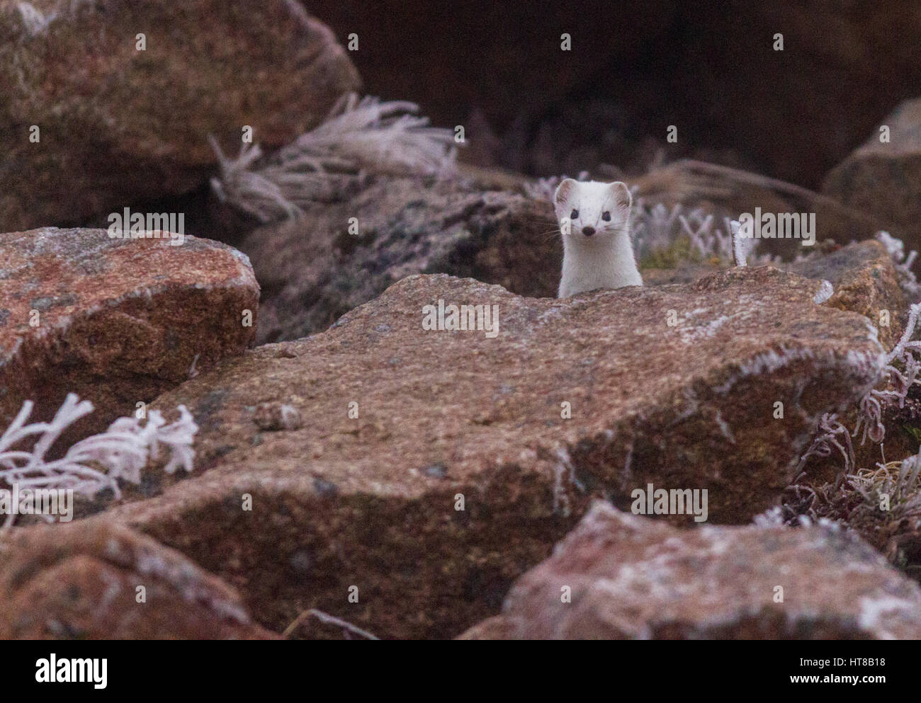 Ermine, Mustela erminea, having white winter fur, looking up among rocks looking in to the camera, cold weather - Stock Image