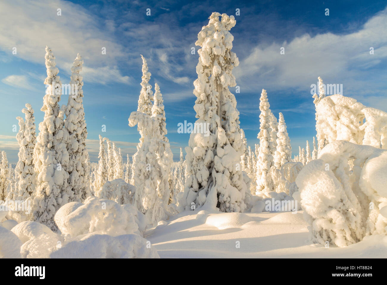 Winter landscape with plenty of snow hanging on the spruce trees, sun is shining with blue sky, Gällivare, - Stock Image