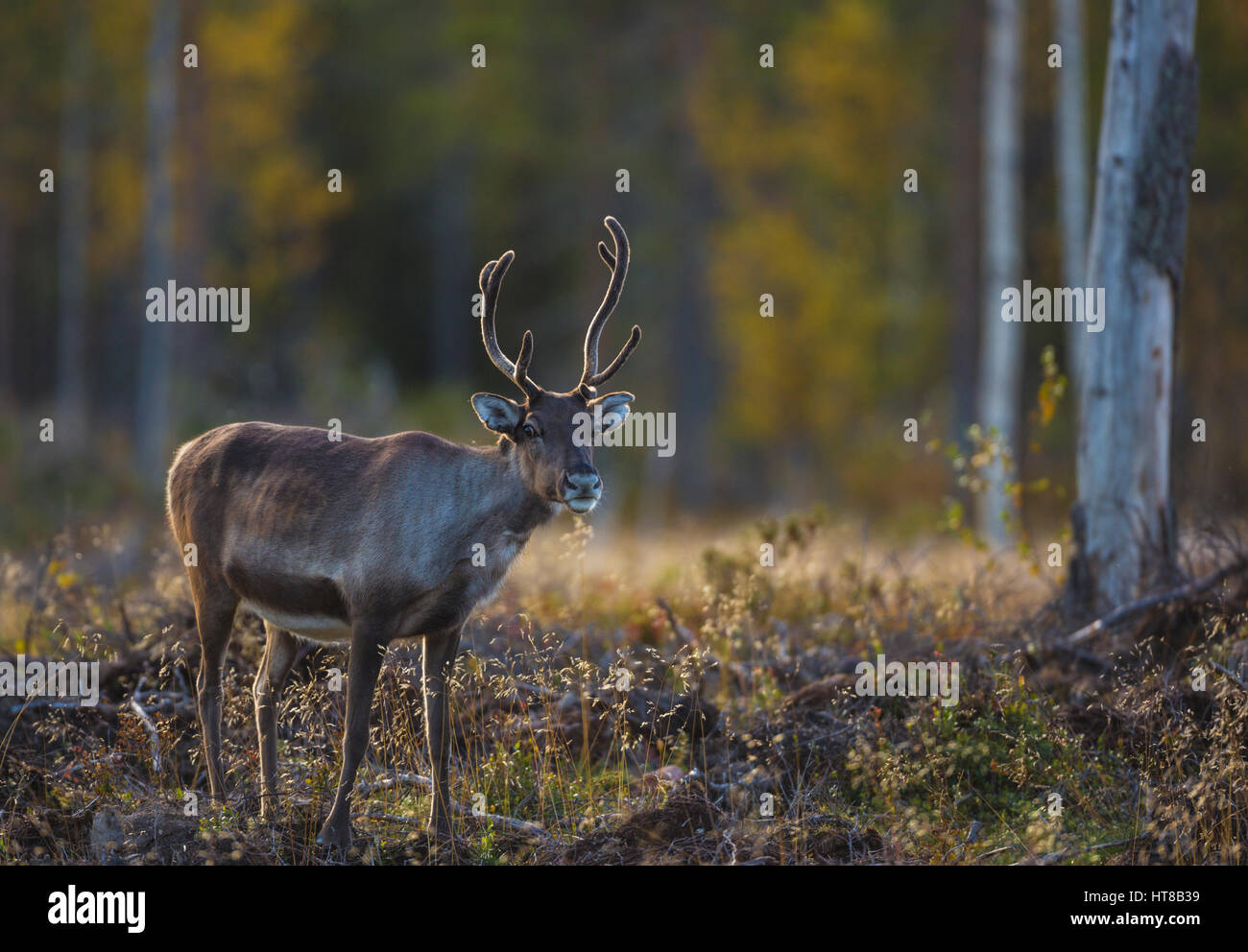 Reindeer in autumn season looking in to the camera and the forest having autumn colors, Gällivare, Swedish - Stock Image