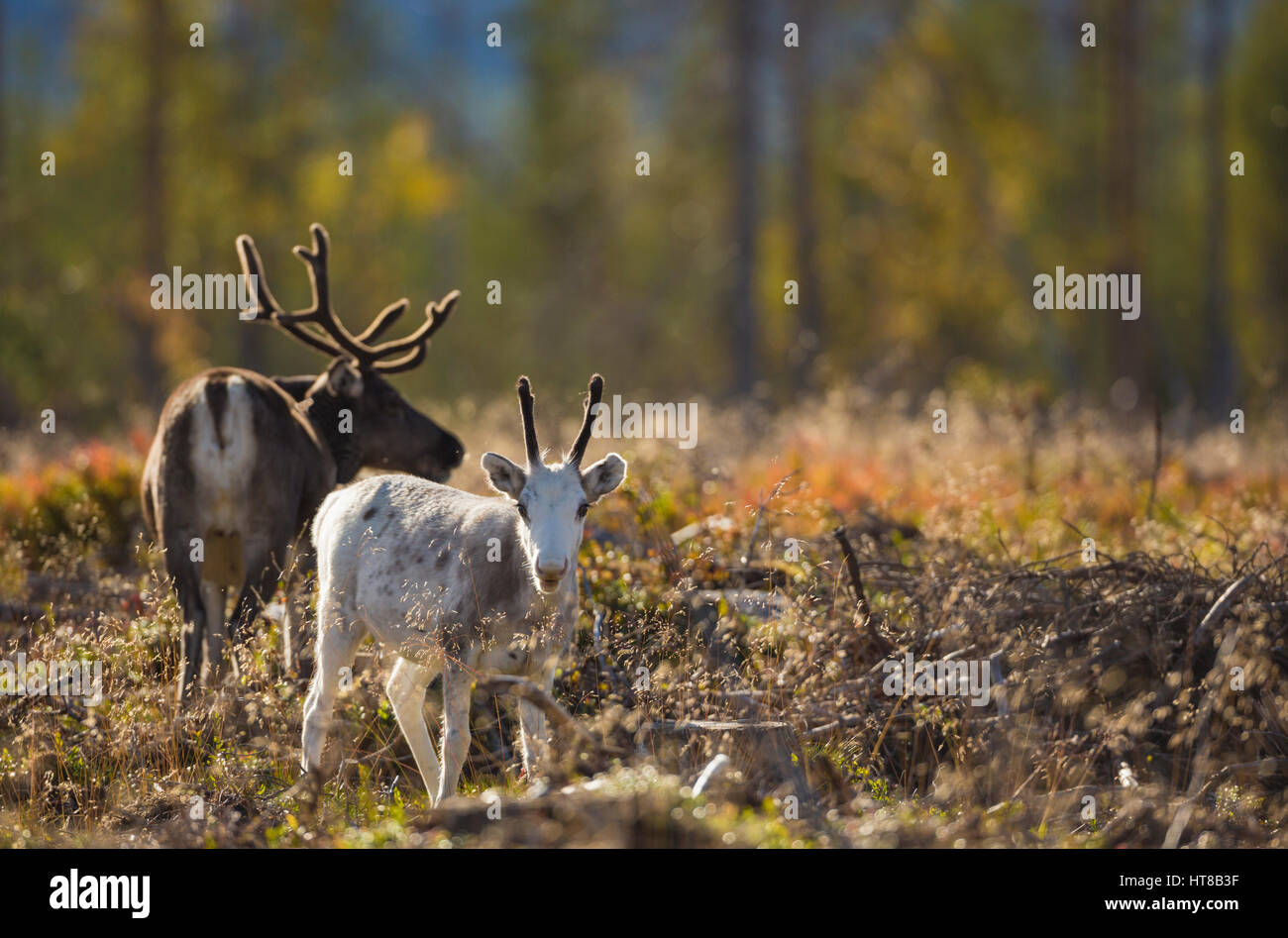 Two Reindeers in autumn season, one is looking in to the camera is a calf and is white, and the forest having autumn - Stock Image