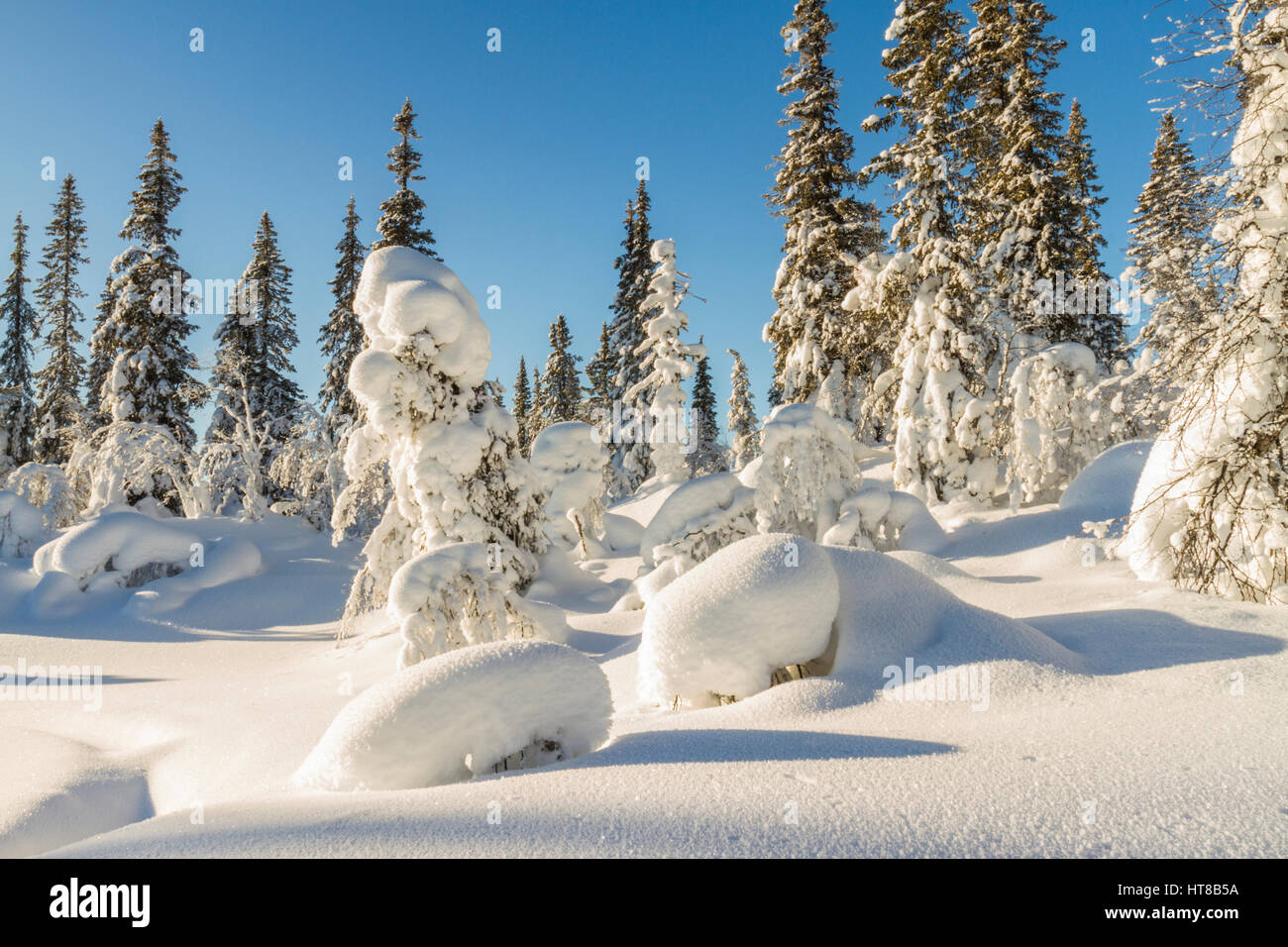 Winter landscape with plenty of snow hanging on the spruce trees, sun is setting  with blue sky, Gällivare, - Stock Image