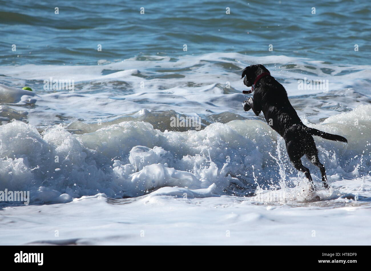 Dog a black labrador jumping into waves of the sea to retrieve his ball. - Stock Image