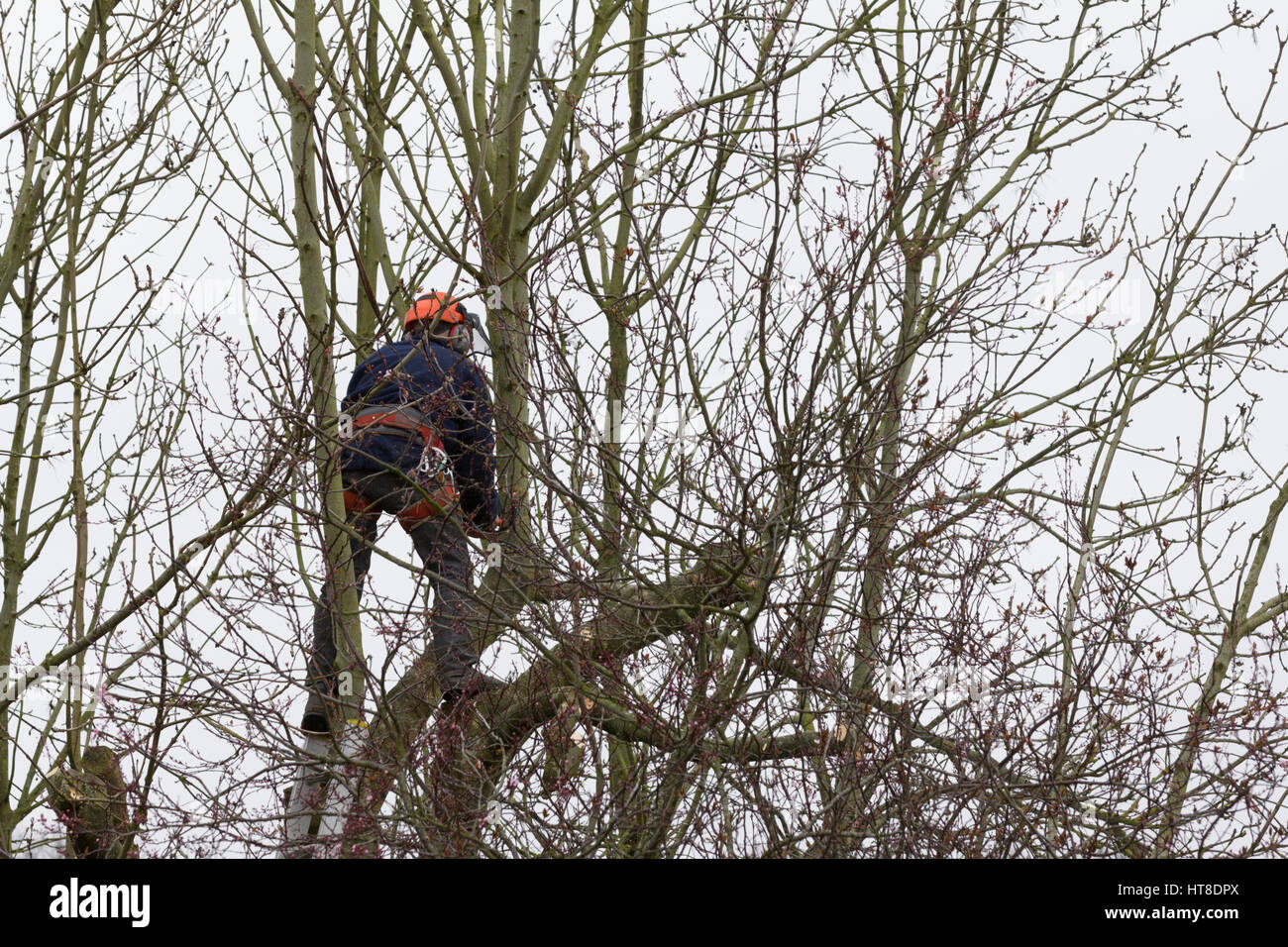 Tree surgeon working with chainsaw in tree canopy and wearing protective clothing and hardhat, uk - Stock Image