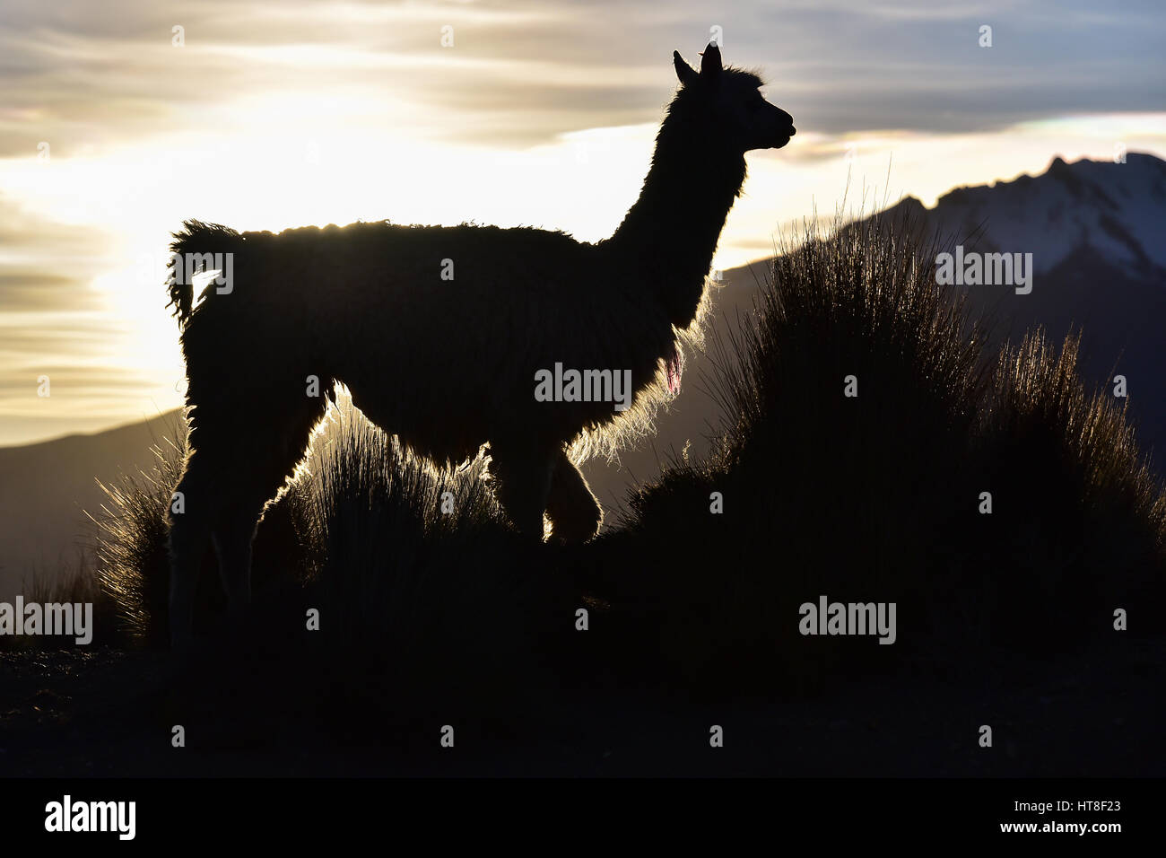 Llama (Lama glama) as a silhouette against the light in front of mountain, evening light, in Cusco, Andes, Peru - Stock Image