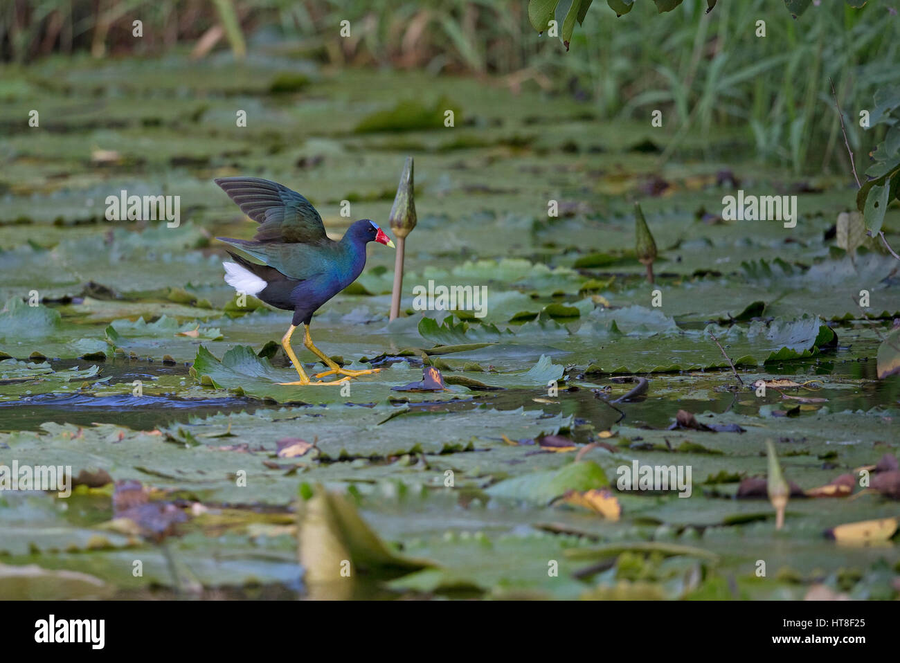 Purple Gallinule (Porphyrio martinicus) Stock Photo