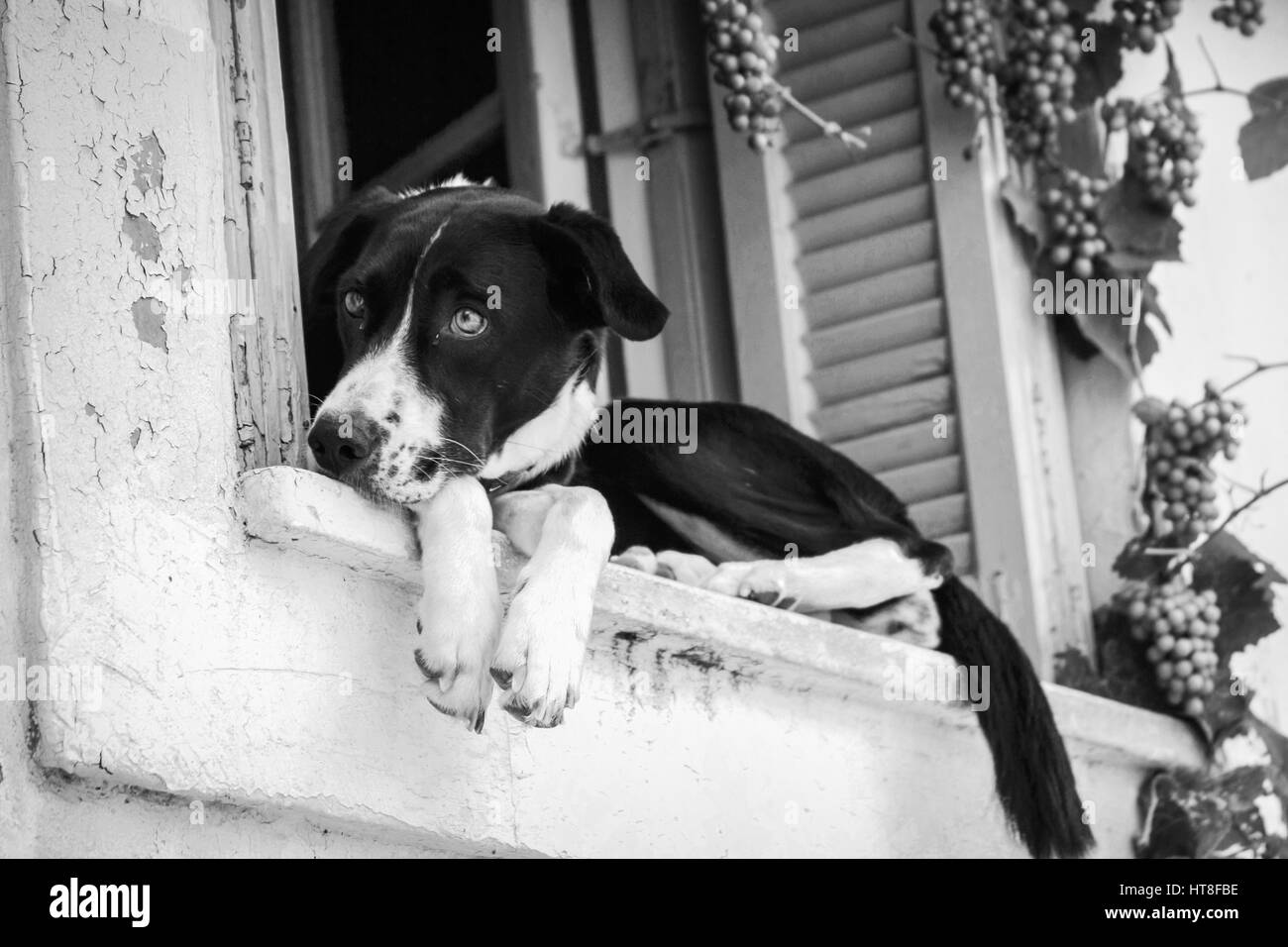 Black and white photo of a dog in the window in rhe old city - Stock Image