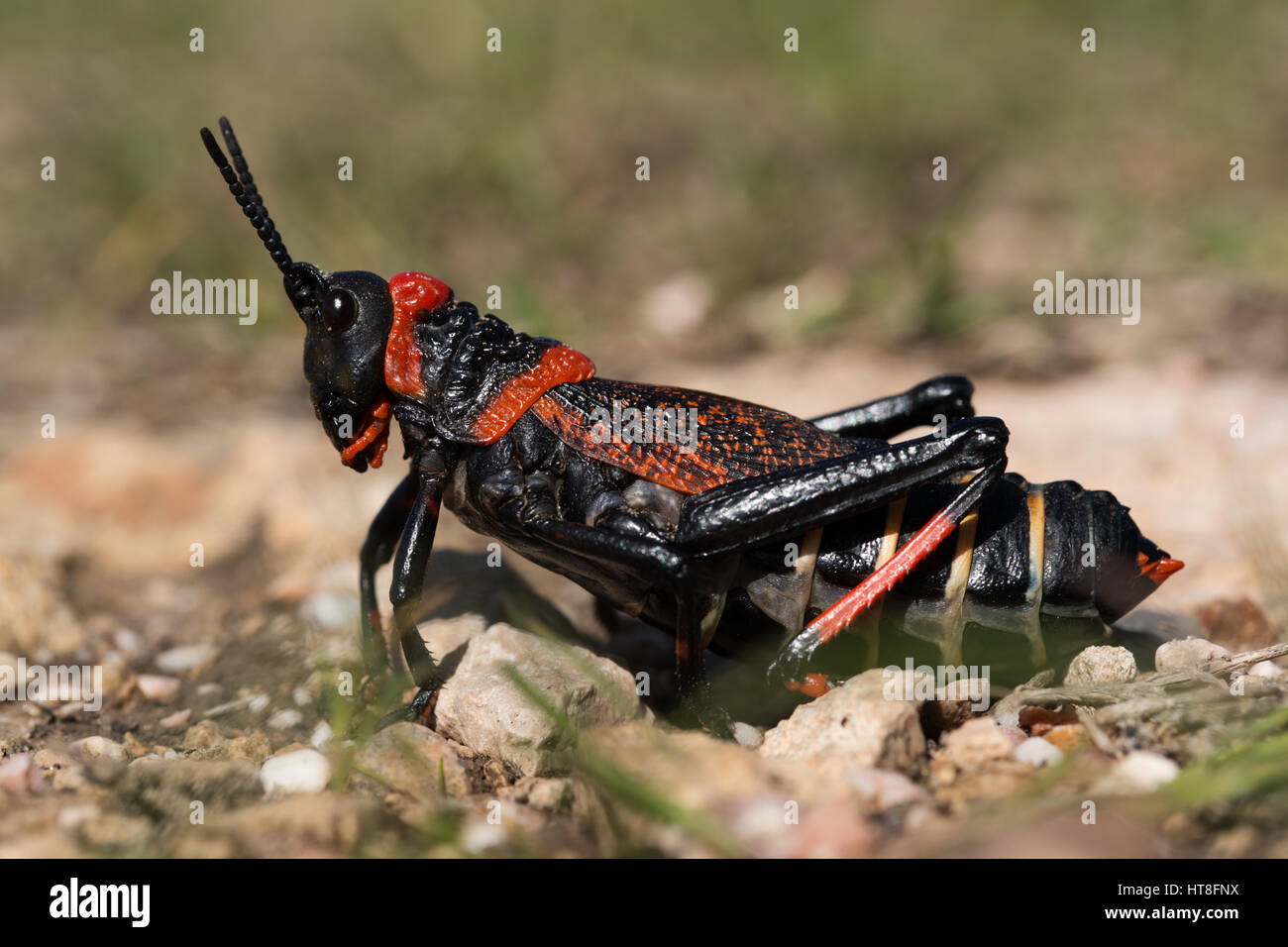 Gaudy grasshopper (Phymateus), South Africa - Stock Image