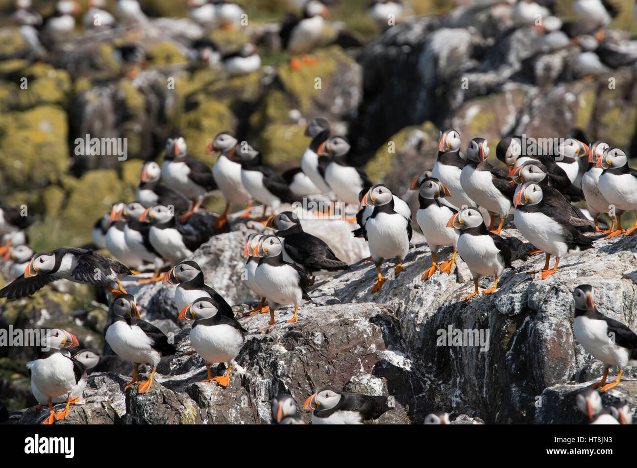 A large group of Atlantic Puffins on breeding grounds, Farne Isles, Northumberland, UK - Stock Image