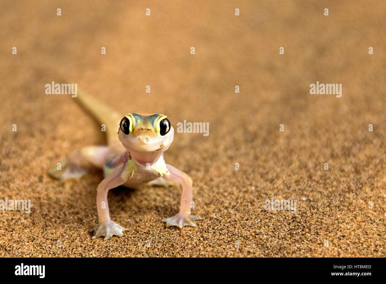 Cheeky and colourful Palmato Gecko on the sands of the Namib Desert  -  front view Stock Photo