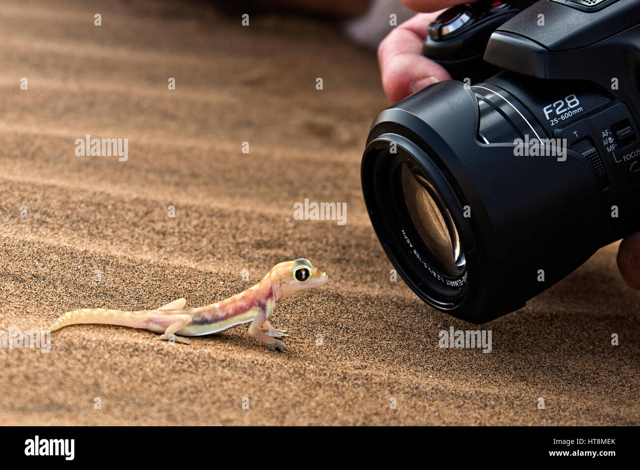 Photographer up close shooting a Cheeky and colourful Palmato Gecko on the sands of the Namib Desert  -  side view Stock Photo