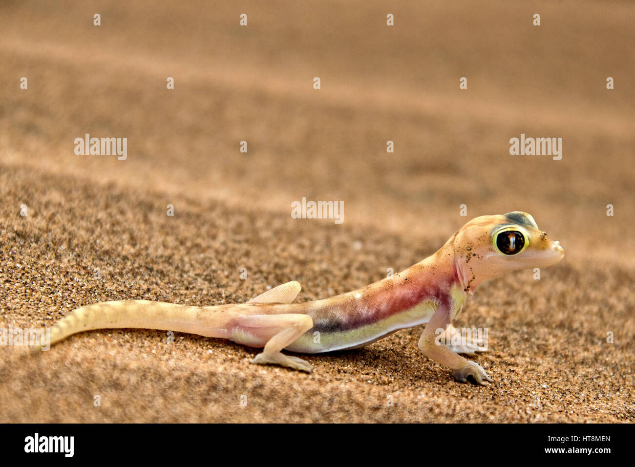 Cheeky and colourful Palmato Gecko on the sands of the Namib Desert  -  side view Stock Photo