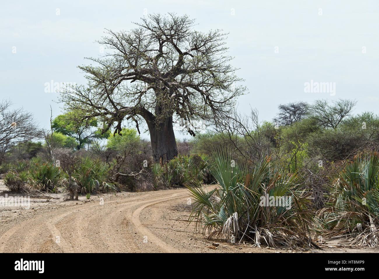 A Baobab tree in Mahango on Caprivi - Stock Image
