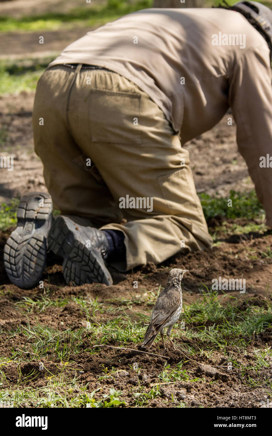 A gardener at work while a ground scraper thrush supervises and takes full advantage of unearthed insects - Stock Image
