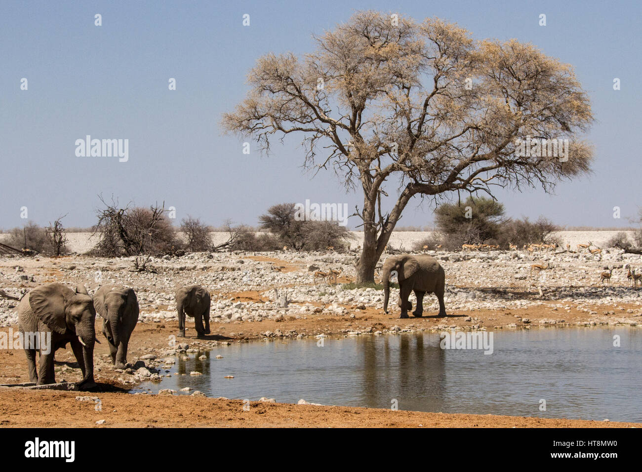 The first elephants of a herd arrive at Okaukuejo water hole. - Stock Image