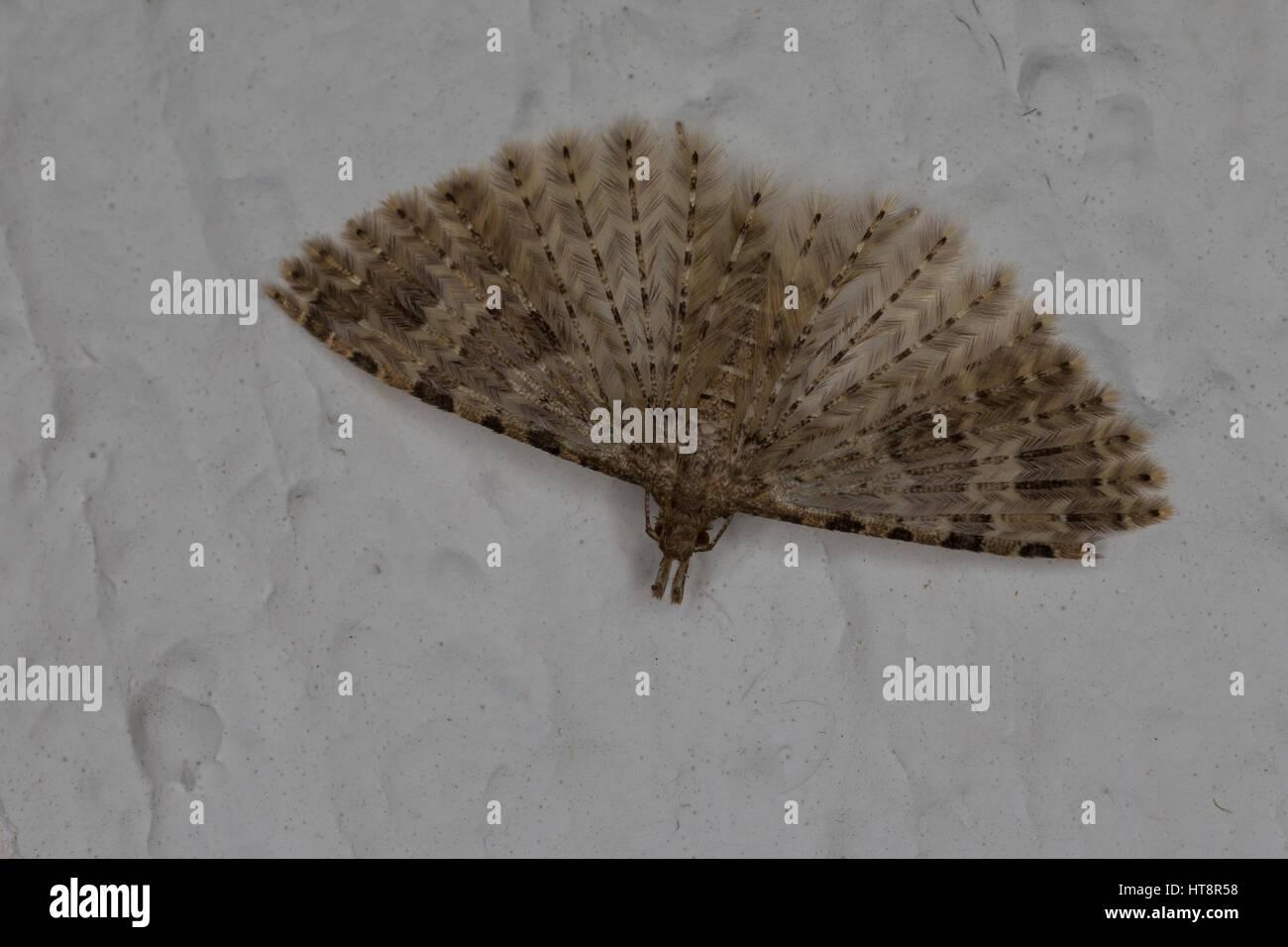 Geißblattgeistchen, Überwinterung im Haus, Geißblatt-Geistchen, Geissblattgeistchen, Geissblatt-Geistchen, - Stock Image