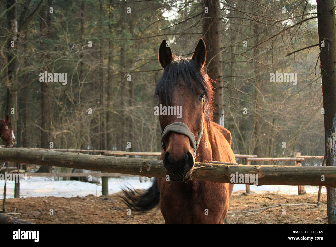 Bay horse standing in the paddock in the woods and looking at the camera. - Stock Image