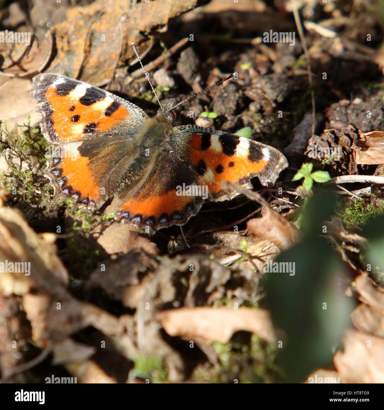 Small Tortoiseshell butterfly resting amongst leaves - Stock Image