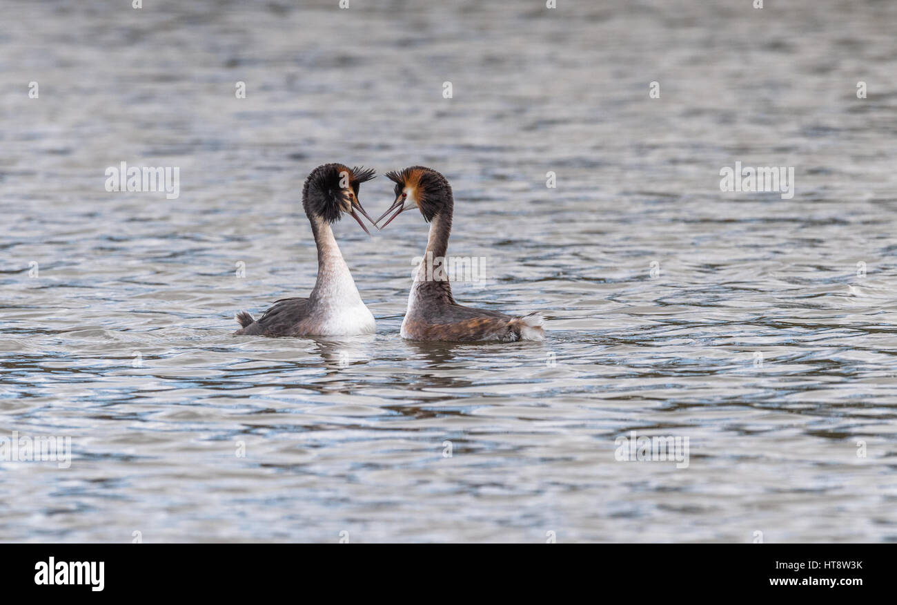 Adult Great Crested Grebes courtship routine - Stock Image