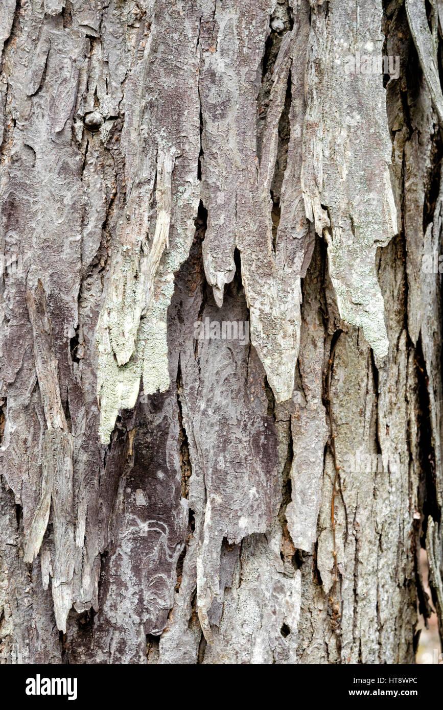 Shagbark hickory tree bark close up abstract texture. - Stock Image