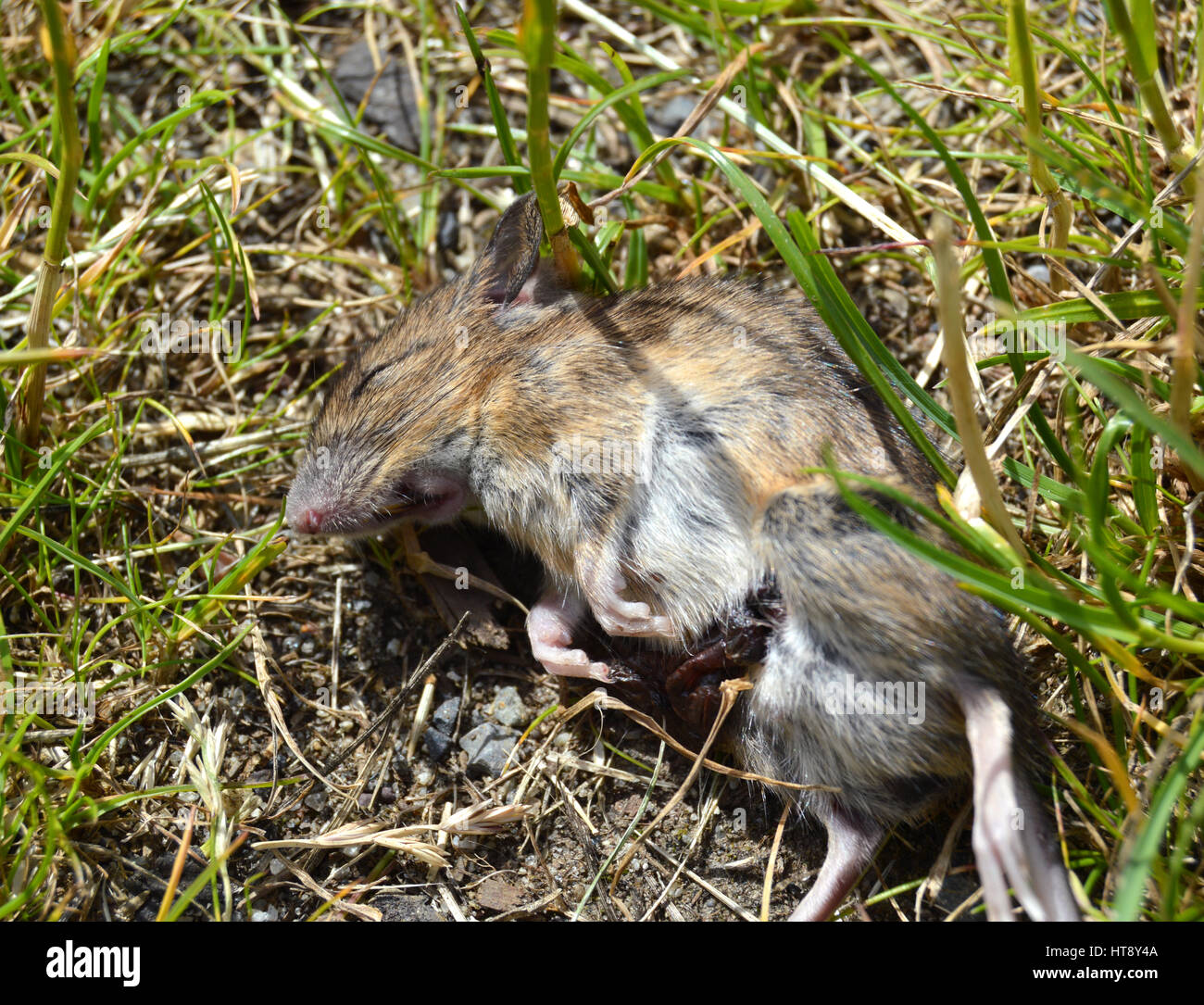 Dead brown rat laying in the grass - Stock Image