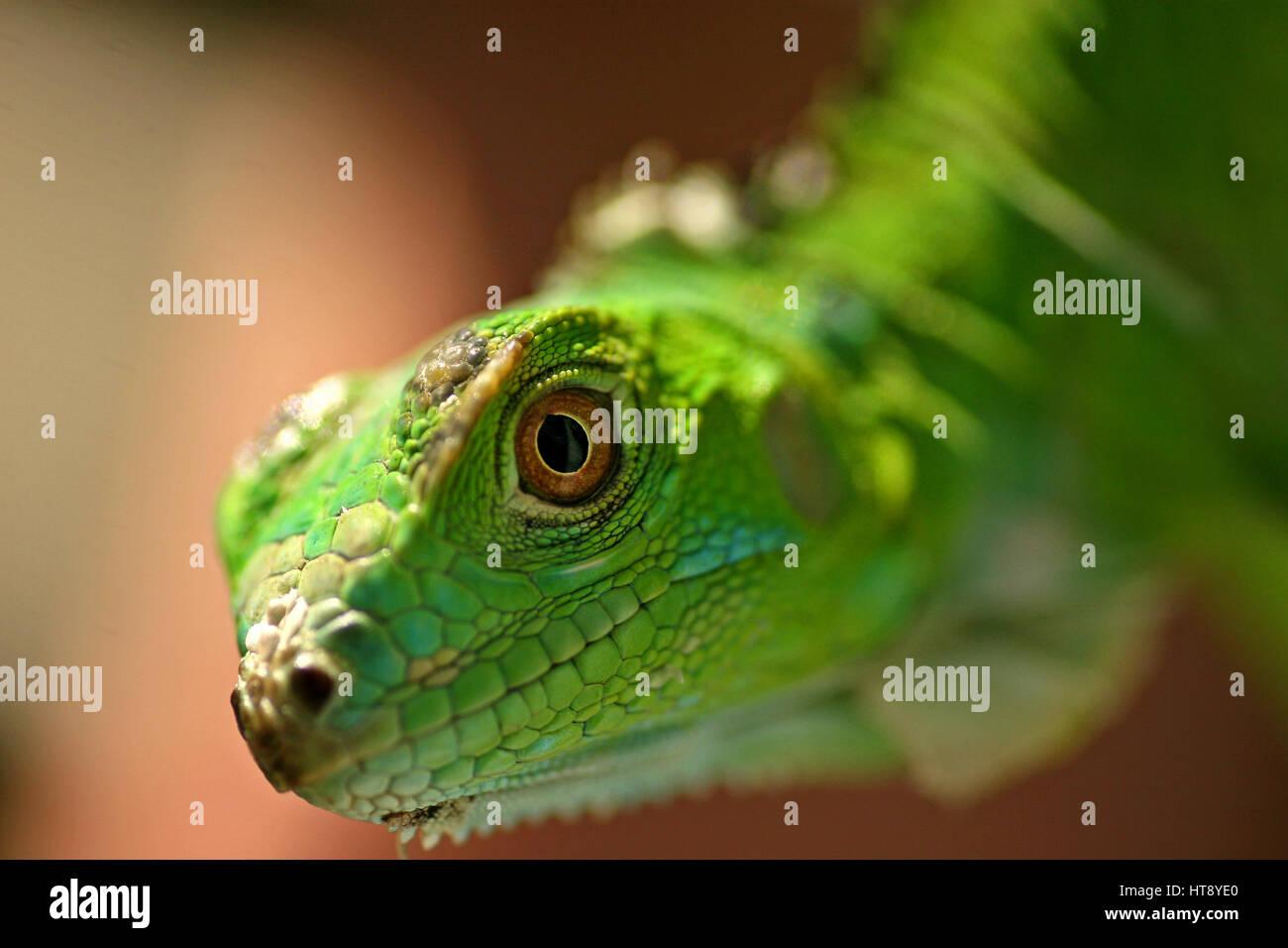 Green Iguana / San Ignacio, Belize - Stock Image