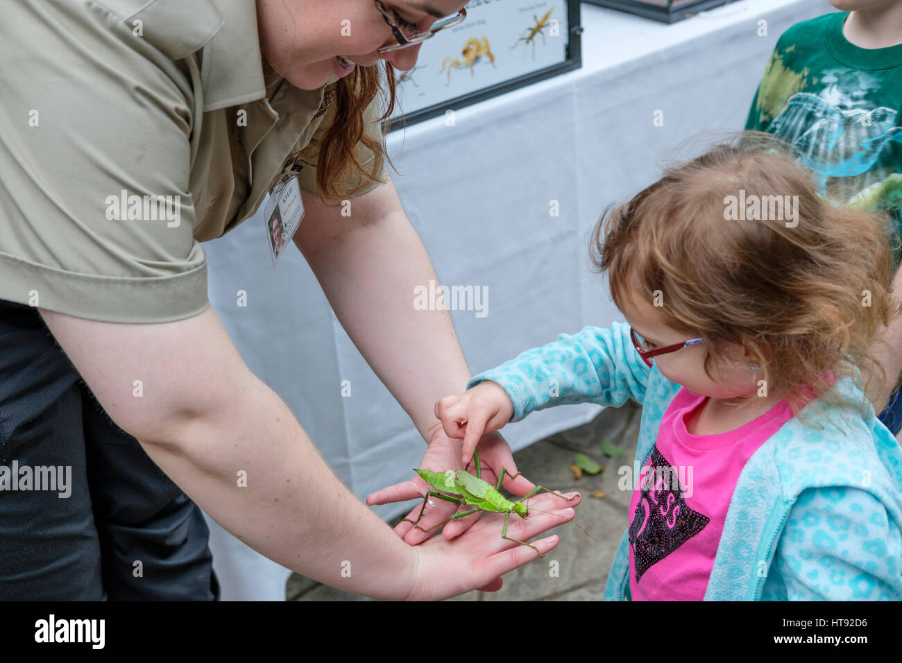 Preschool girl touching a Malaysian jungle nymph (Heteropteryx dilatata) held by a nature interpreter at the Cambridge - Stock Image