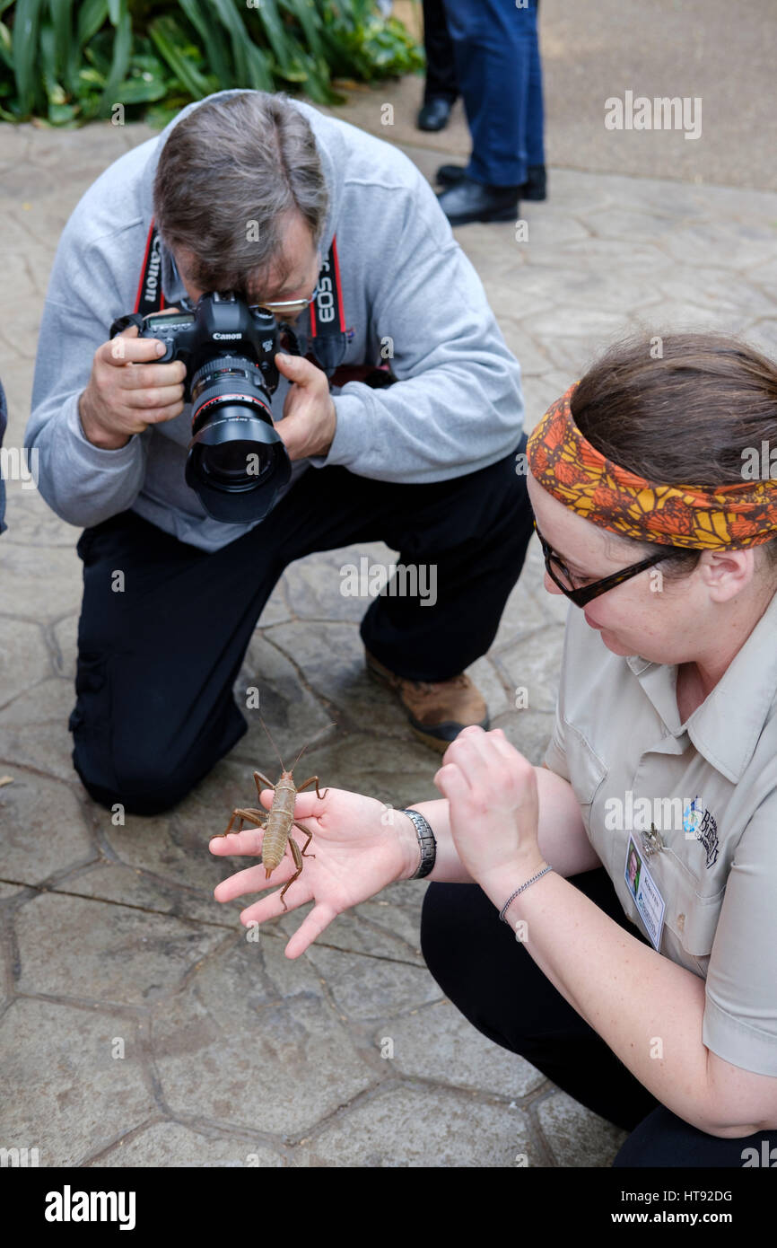 Amateur photographer photographing a nature interpreter showing a female thorny devil stick insect (Eurycantha calcarata) - Stock Image
