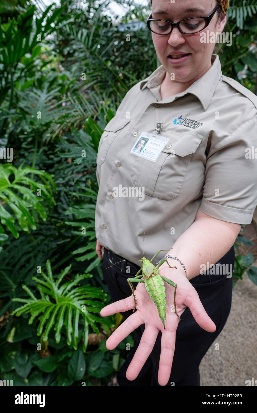 A nature interpreter holds on her hand a Malaysian Jungle Nymph (Heteropteryx dilatata) insect at the Cambridge - Stock Image