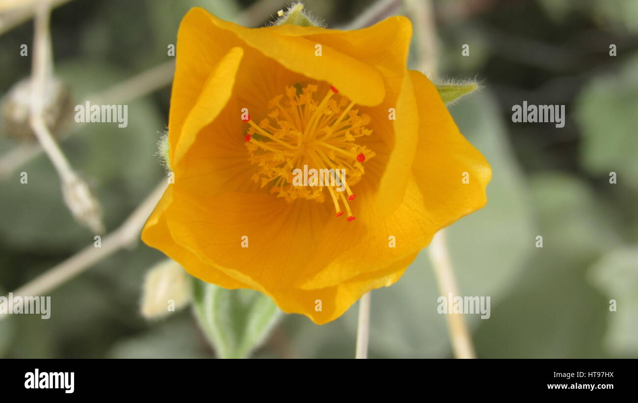 Desert globemallow or apricot mallow, Sphaeralcea ambigua with yellow orange flowers - Stock Image