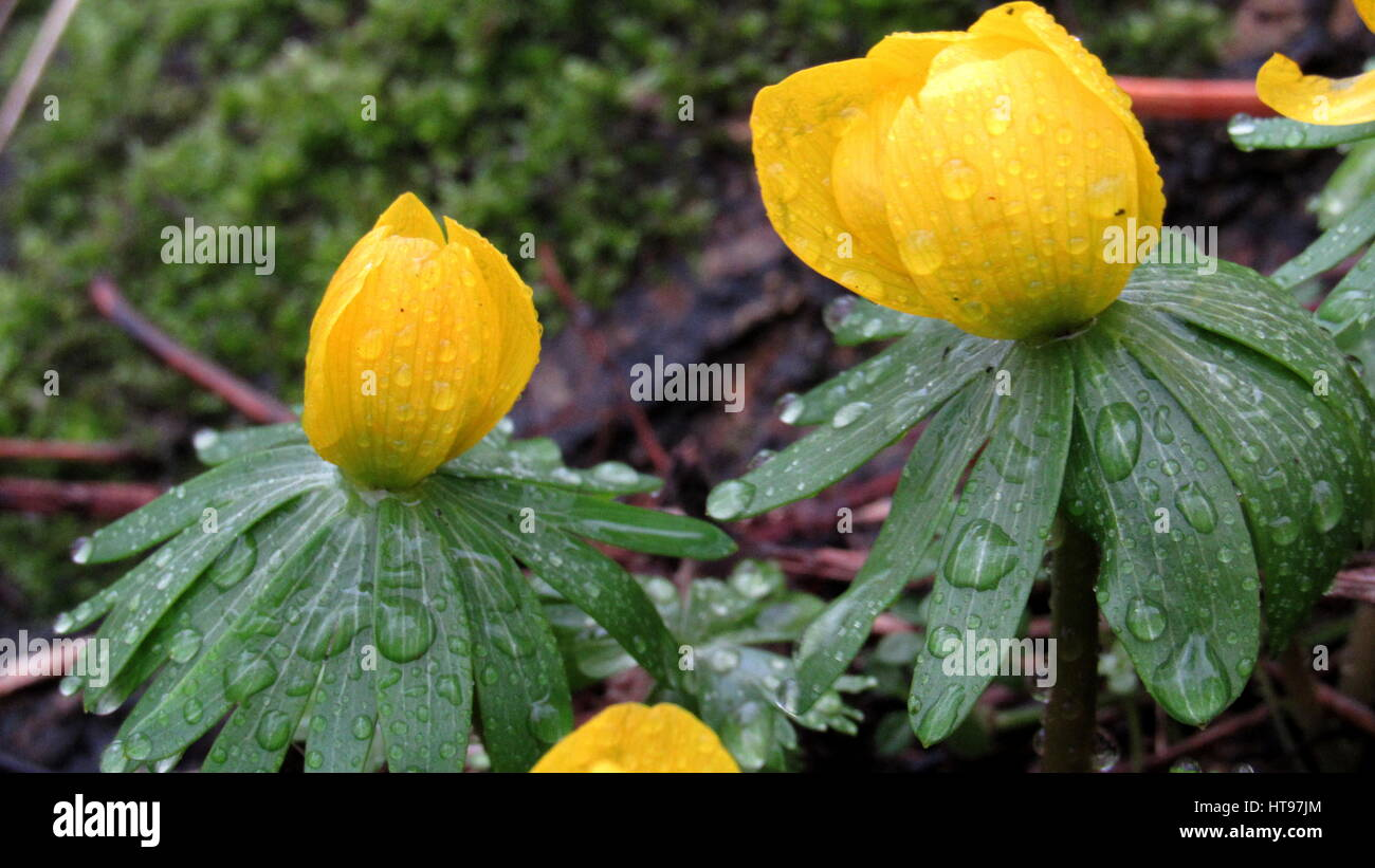 Winter Aconite Eranthis Hyemalis Buttercup With Yellow Flowers And