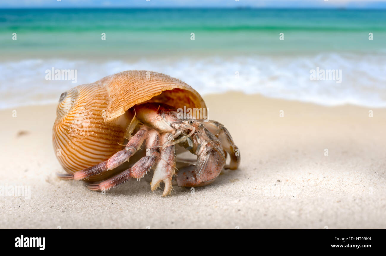 Life hermit crab on the beach in nature tropical sea in Thailand photo with flash in outdoor lighting. - Stock Image