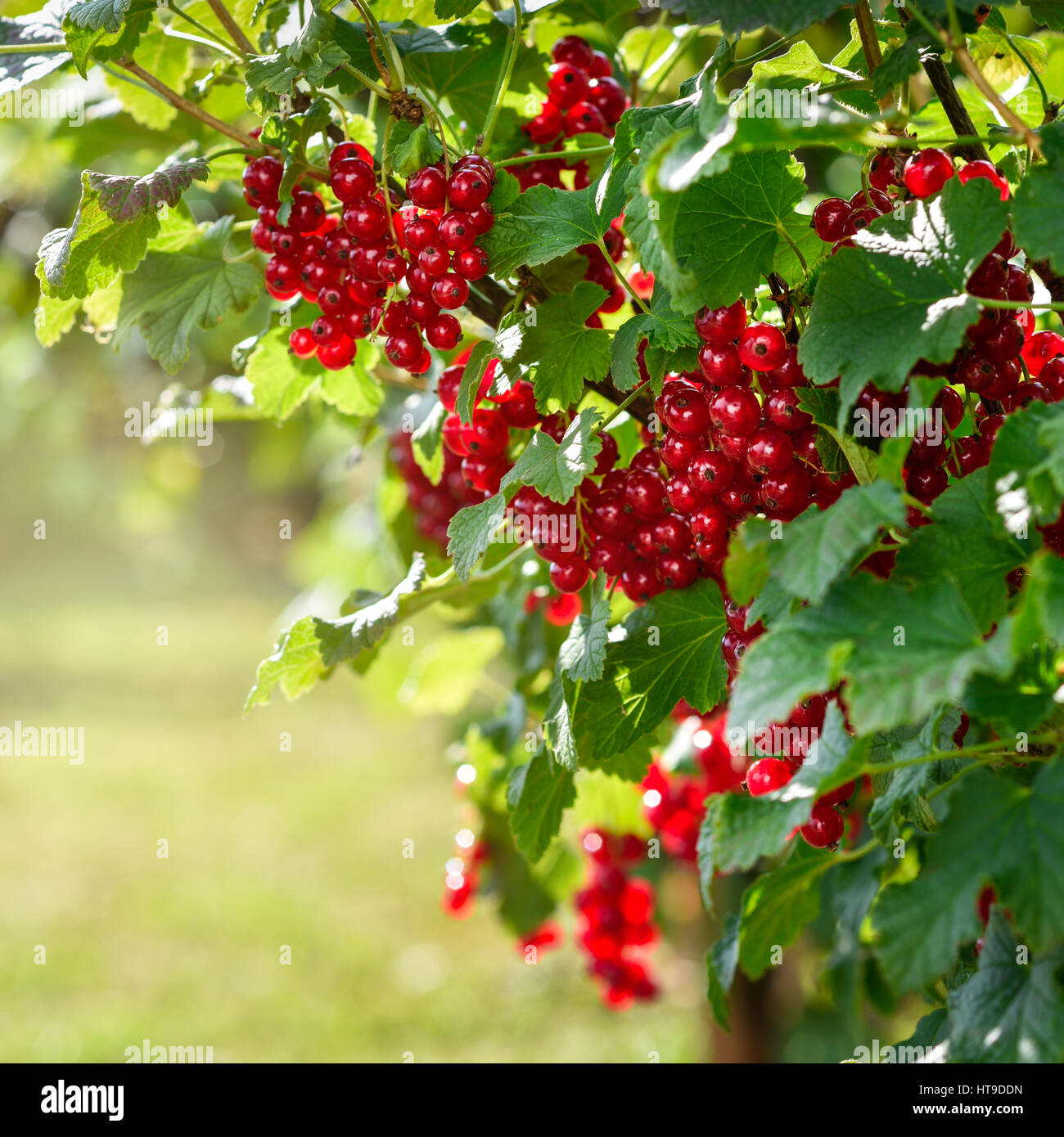 Redcurrants bush in the garden Stock Photo