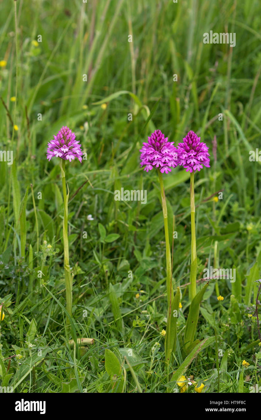 Pyramidal orchid Anacamptis pyramidalis on chalk downland Noar Hill Hampshire and Isle of Wight Wildlife Trust Reserve Stock Photo