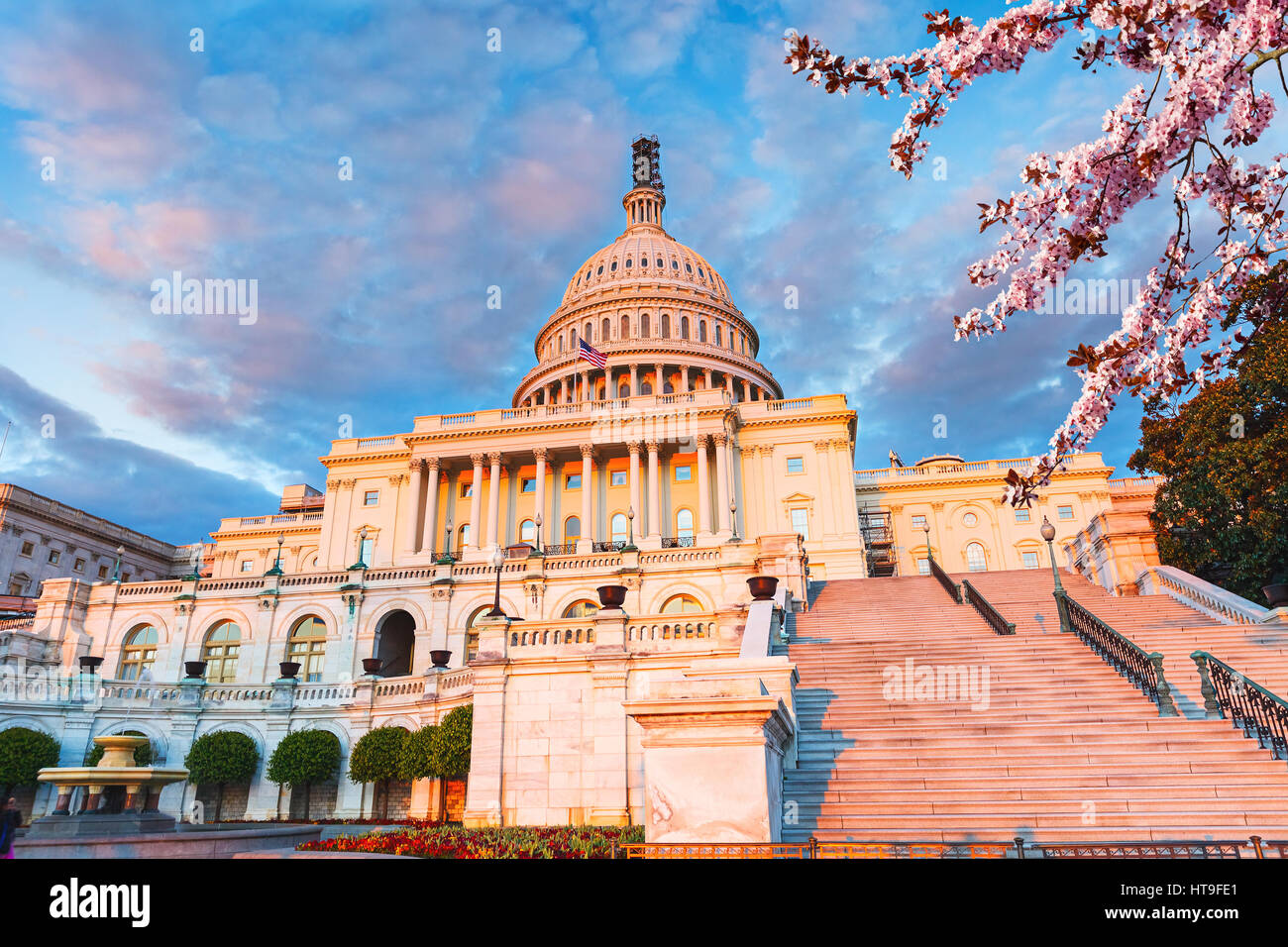 US Capitol at sunset with blooming cherry on foreground - Stock Image