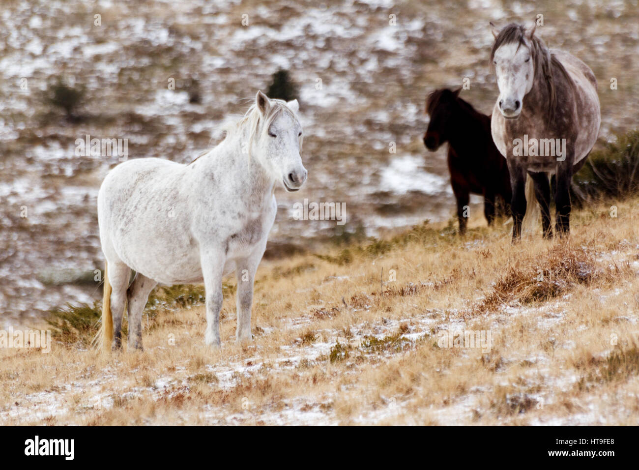 Wild white mustang horse, resting in a snowy field looking relaxed - Stock Image