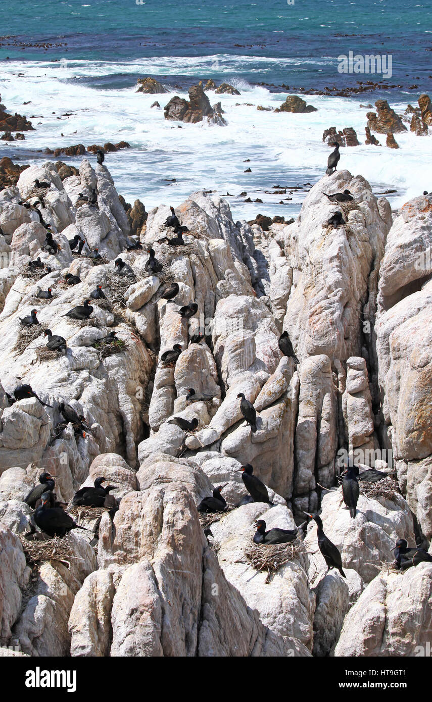 Cape cormorants, South Africa - Stock Image