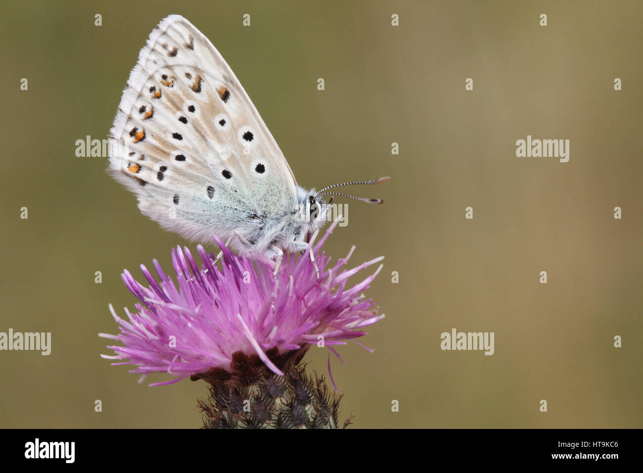 A Chalk Hill Blue Butterfly (Polyommatus coridon) perched on a flower. - Stock Image