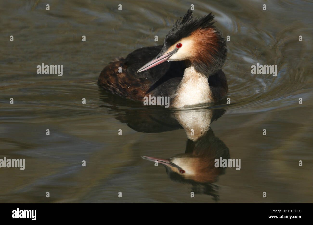 A beautiful Great crested Grebe (Podiceps cristatus) swimming in a stream with its reflection showing in the water. - Stock Image