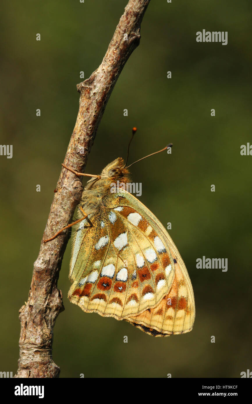 The side view of a rare High Brown Fritillary Butterfly (Argynnis adippe) in golden light, perched on a twig. - Stock Image