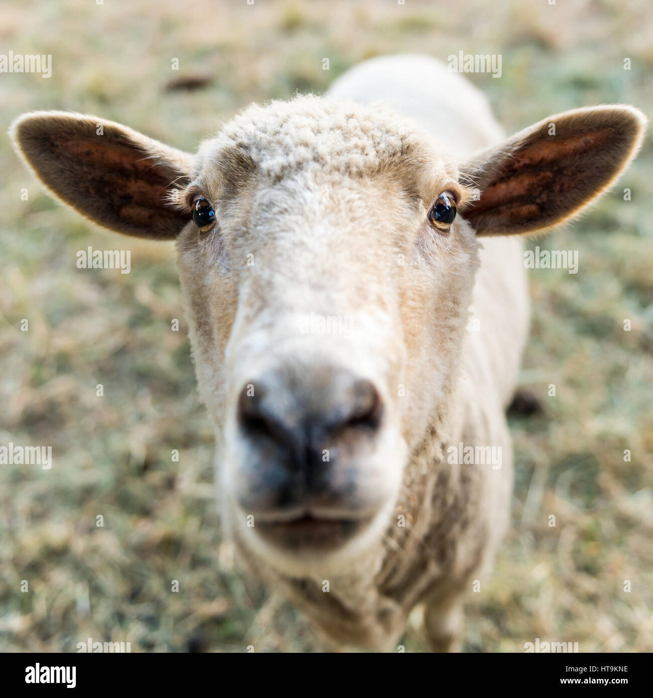 Curious sheep, funny domestic animal - Stock Image