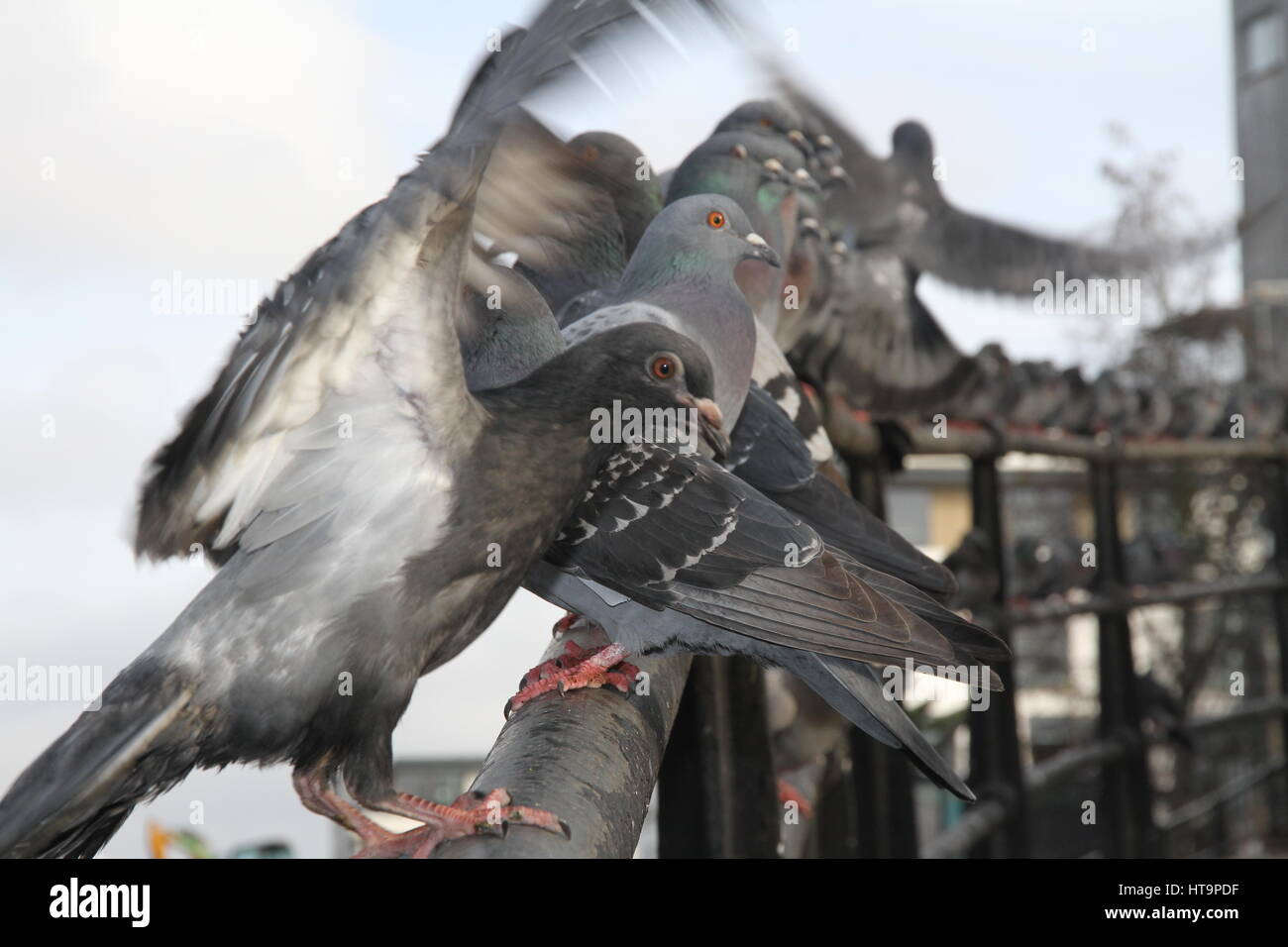 London pigeons at the edge of Regent's Canal - Stock Image
