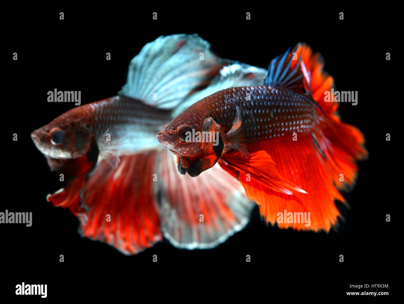 Fighting Fish Stock Photos & Fighting Fish Stock Images - Page 3 - Alamy