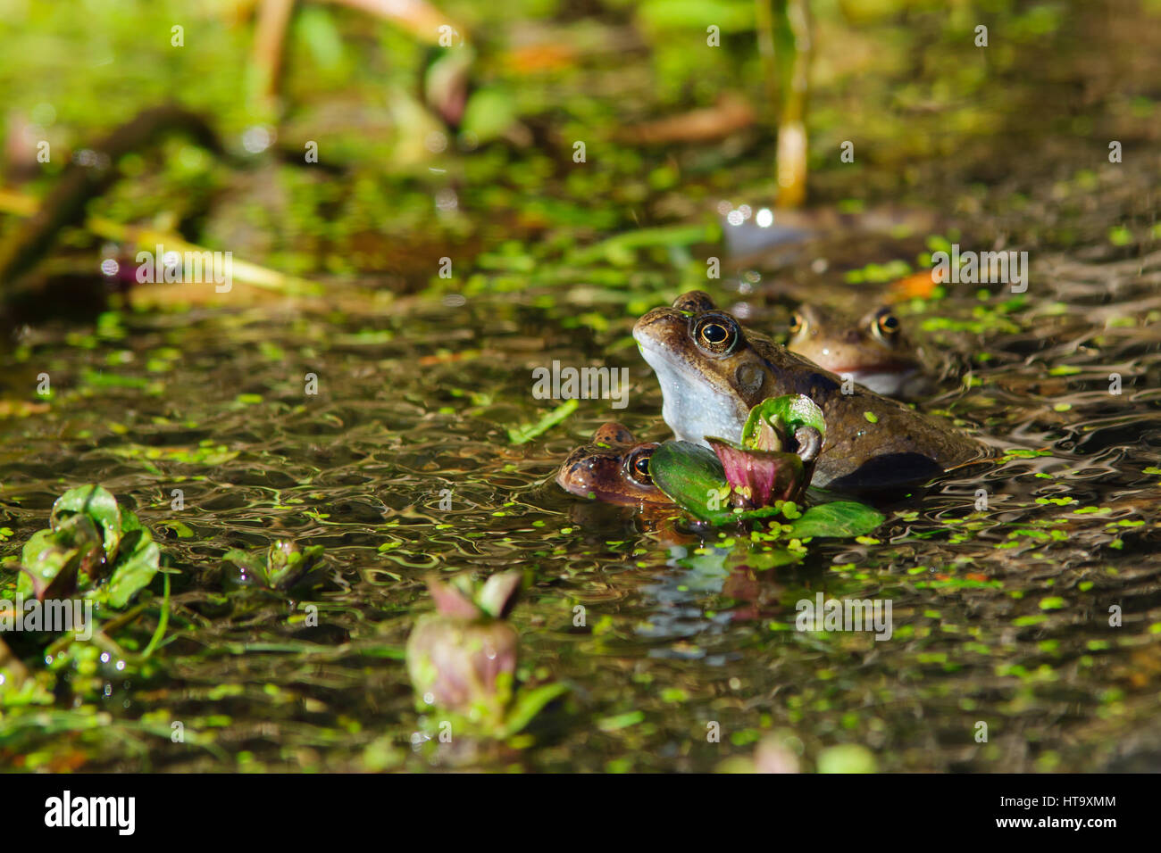 Wild common frogs (Rana temporaria) mating surrounded by frog spawn in a pond - Stock Image