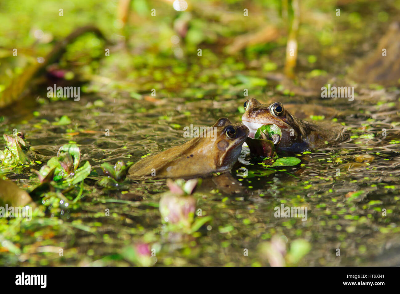 Wild common Frogs (Rana temporaria) surrounded by frog spawn in a pond - Stock Image