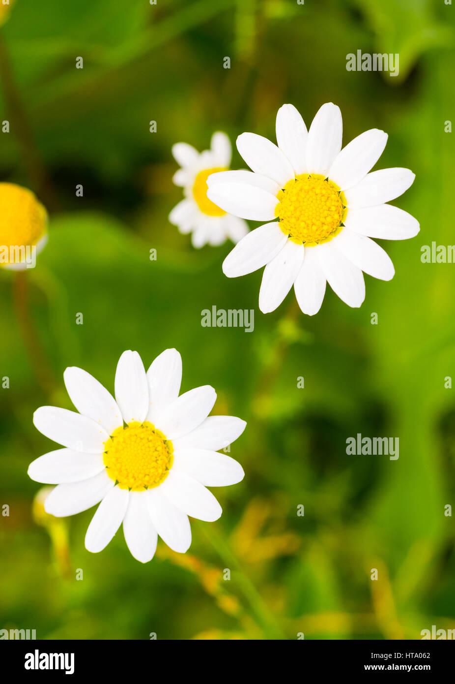 Spring Daisy Flower Growing In Alentejo Region Portugal Stock Photo