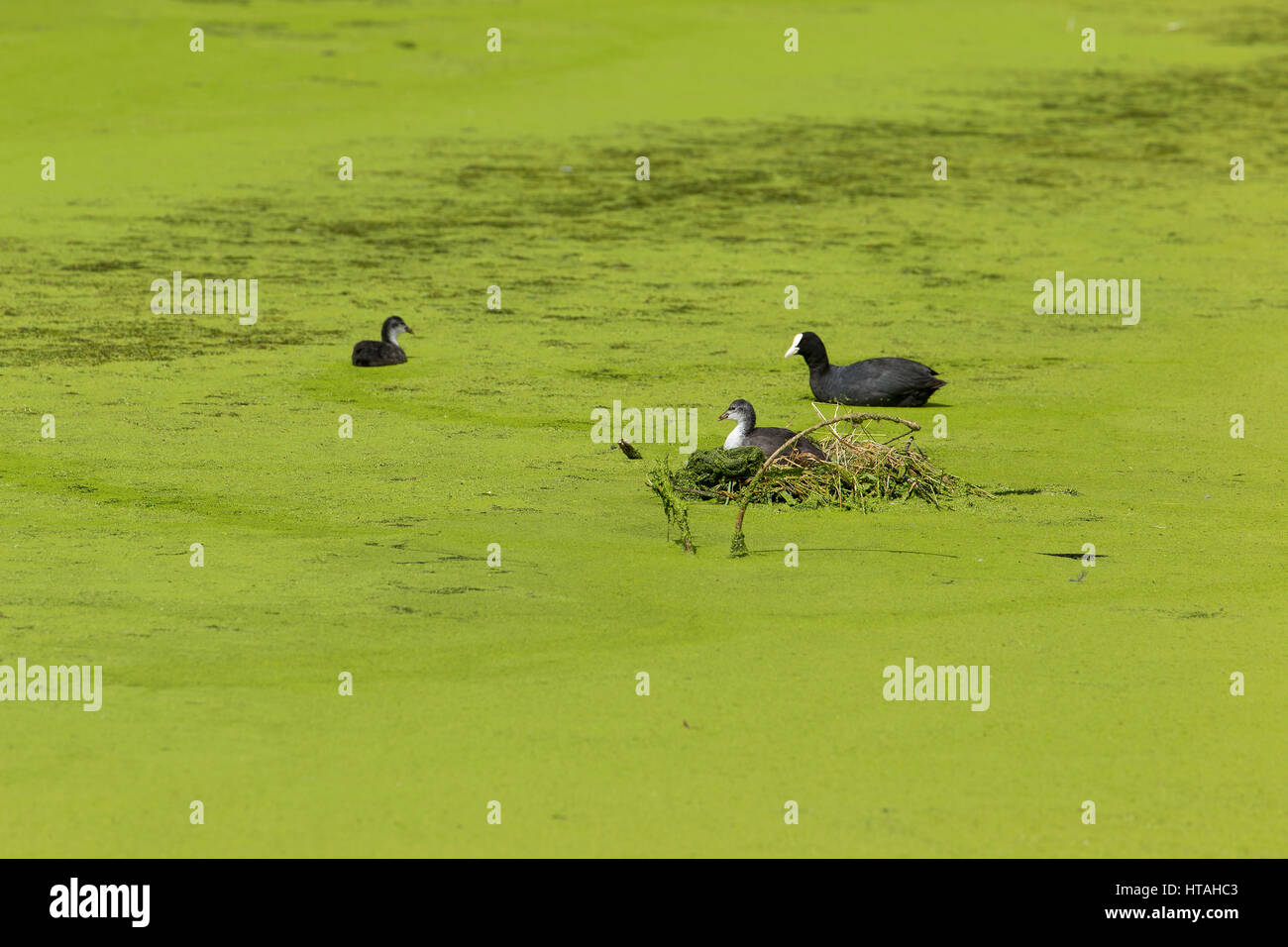 Moor Hens and chick surrounded by algae on pond - Stock Image