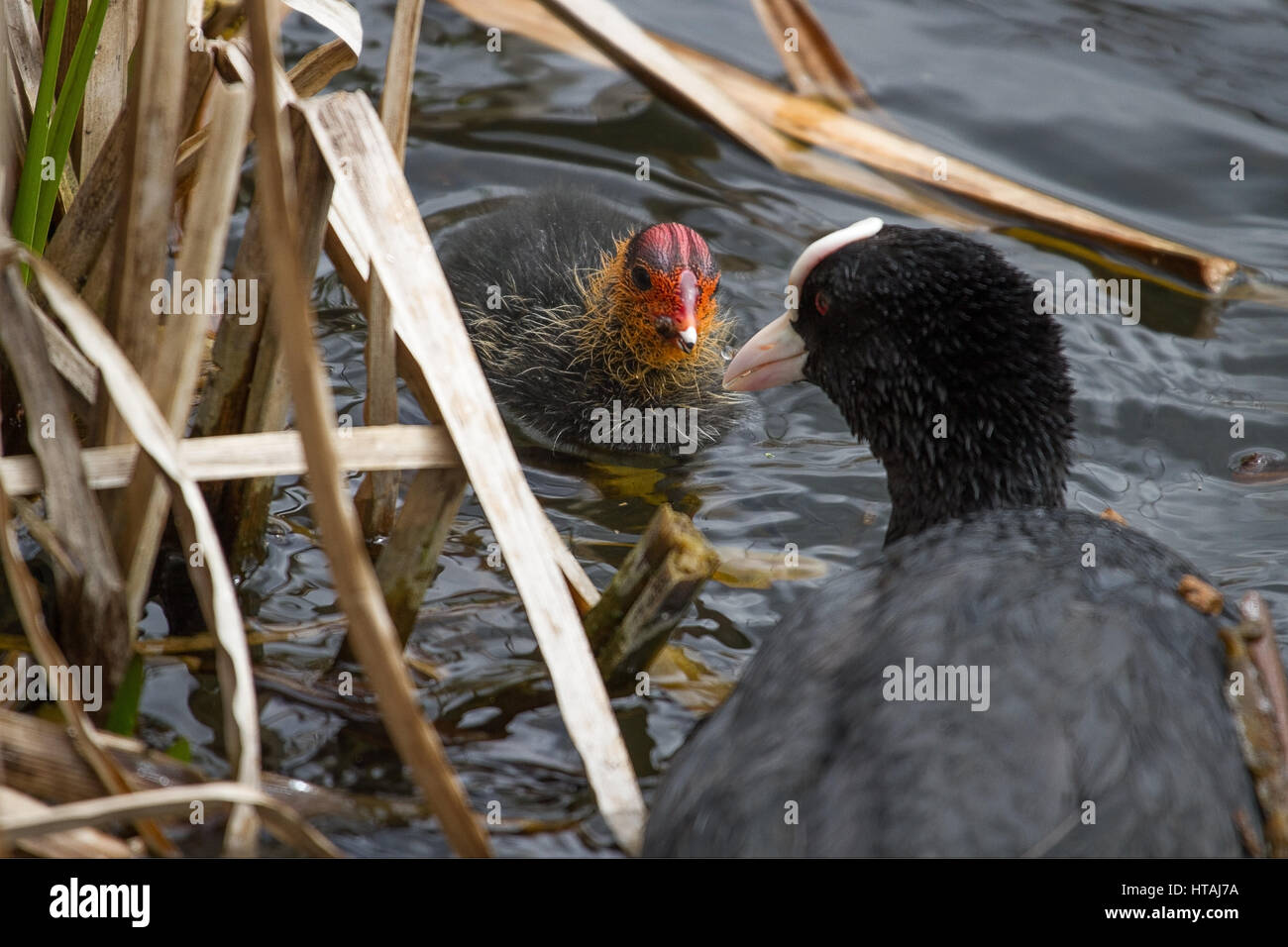 photo of an adult coot feeding it's chick with some food - Stock Image